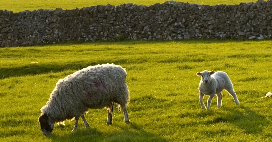 Blog-ship sheep